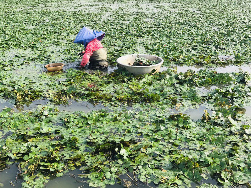 秋風起,台南官田菱角不時可見菱婦忙碌採菱。圖/台南市政府觀旅局提供