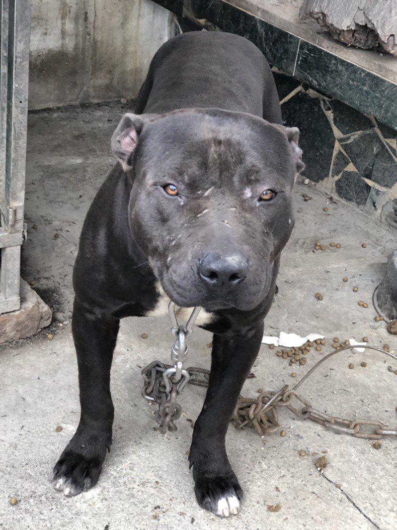 比特犬屬於犬隻攻擊人類事件中,最常見的犬種之一,圖為示意圖。 圖/台東馬偕醫院提供