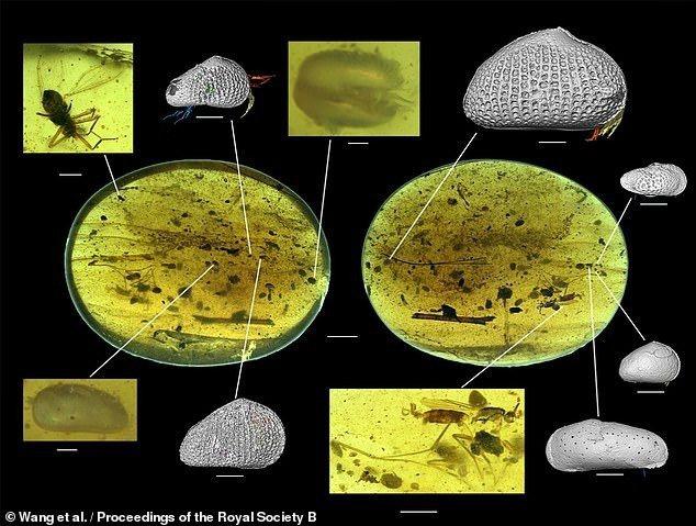 全球最古老的動物精子,就封存在緬甸一塊億年琥珀(石化樹液)內。圖擷自dailymail
