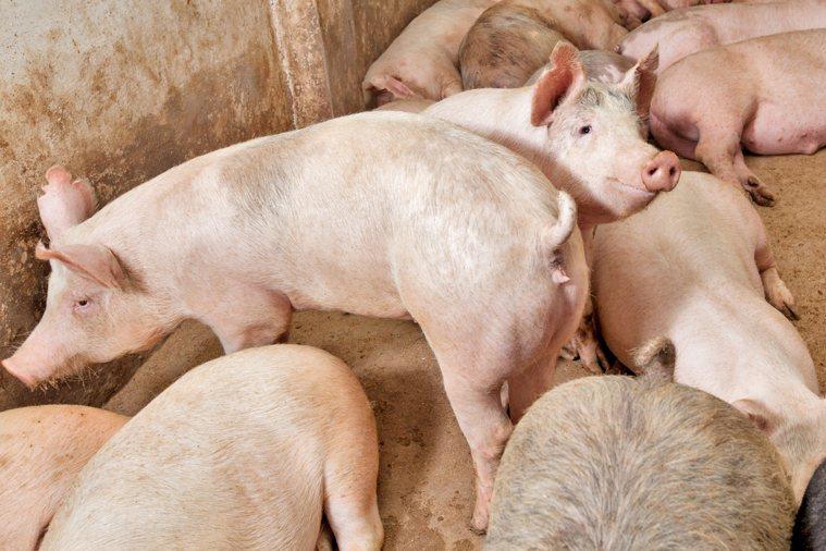 豬隻示意圖,非當事新聞照。圖/Ingimage