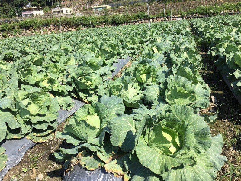 今年8月底農民超種捲土重來,農委會發出「紅色」警示燈號。本報資料照片