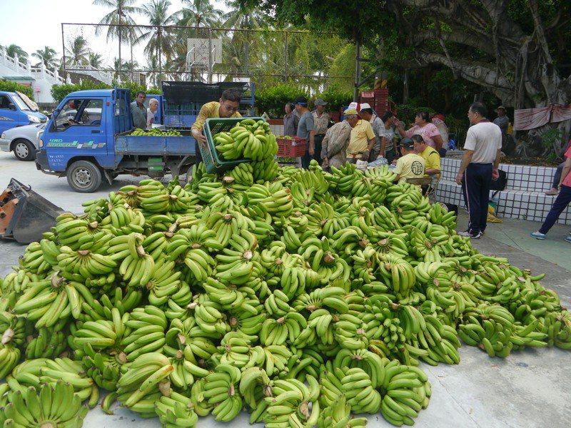 近日高雄、屏東兩地啟動香蕉「多元循環經濟利用」,以每公斤5元的價格收購次級香蕉;農委會農糧署長胡忠一表示,這不是農糧署收購的,是當地合作社自己去收購的。本報資料照片
