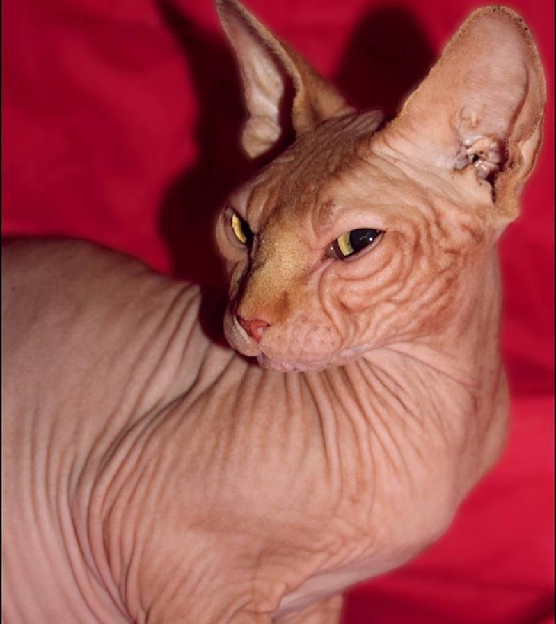 美國無毛貓患病前有一雙美麗眼睛。圖片來源/ instagram