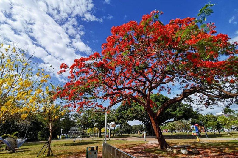 千禧公園內的鳳凰木。圖/屏東縣政府提供