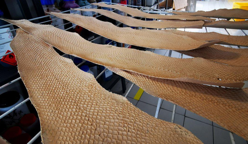 Ictyos公司三名創辦人自學皮革鞣製程序,並設法用魚皮製作皮革。(路透)