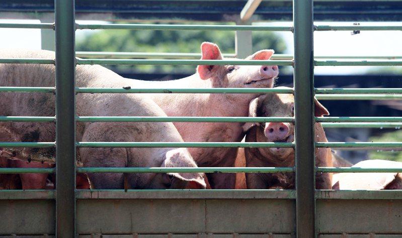 農委會表示,不清楚「科學人」為何撤下廣告,相關內容只是要澄清台灣豬不使用瘦肉精萊克多巴胺,以免網路謠言持續發酵。聯合報系資料照片/記者劉學聖攝影