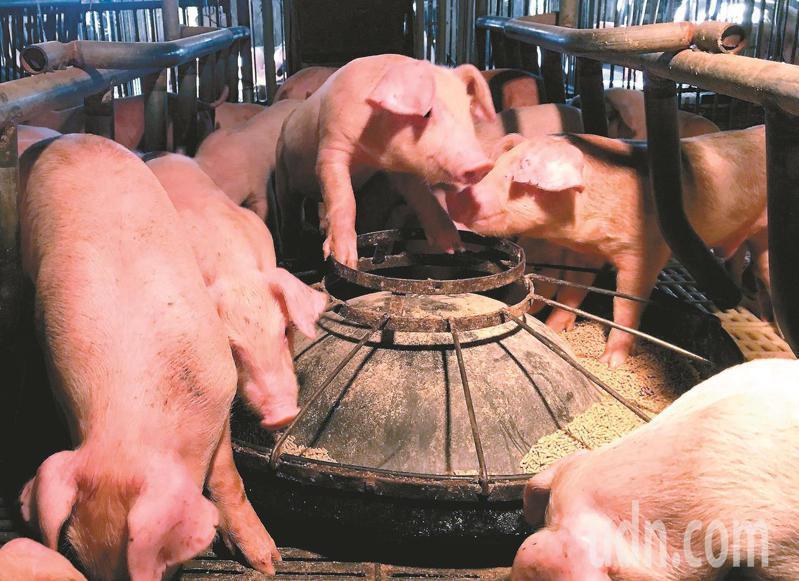 國內養豬維持100%完全不用萊克多巴胺,從未改變。本報資料照片