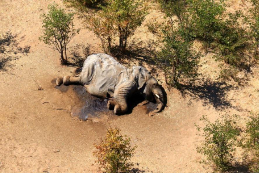波札那數百頭大象離奇死亡 查明是藍綠藻毒素作祟