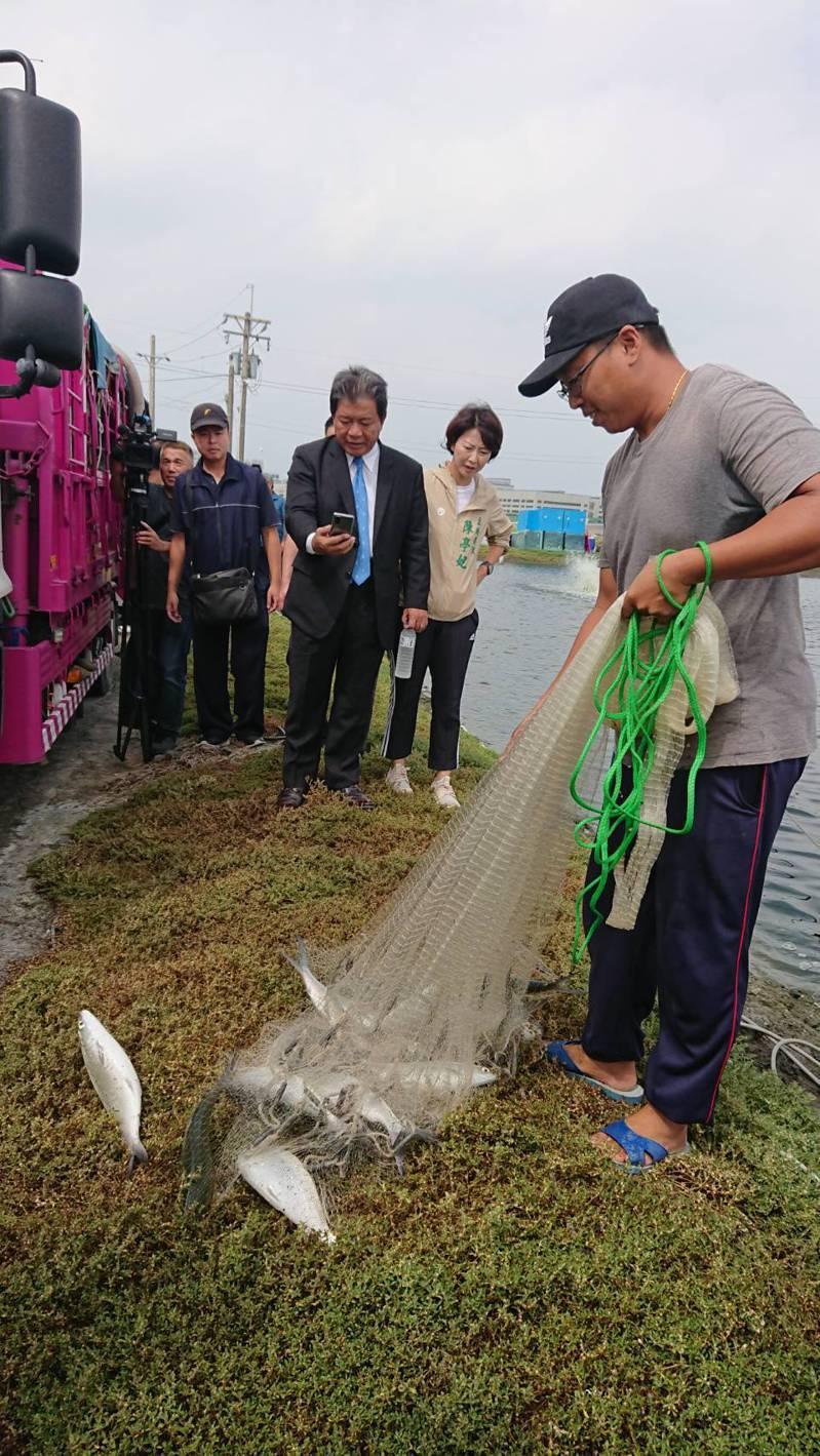 台南虱目魚產地價直直落,已不敷成本,養殖漁民有苦難言。記者鄭惠仁/攝影
