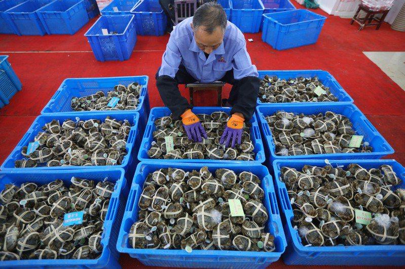 捕蟹忙 江蘇蘇州陽澄湖大閘蟹昨天開捕,技術熟練的工人正在將螃蟹放入箱子。(中新社)
