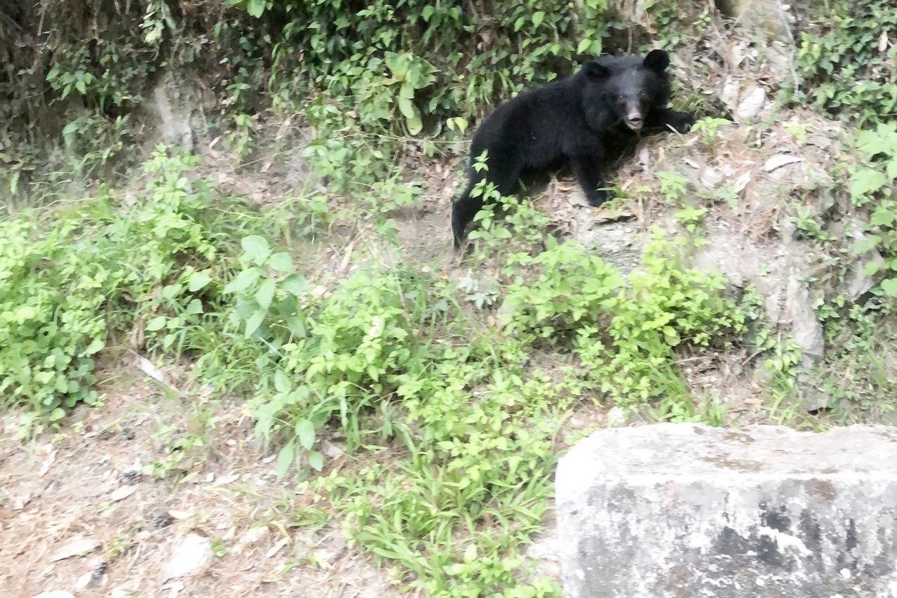 影/小熊頻現蹤利稻山區 村民:同隻南橫公路小熊?