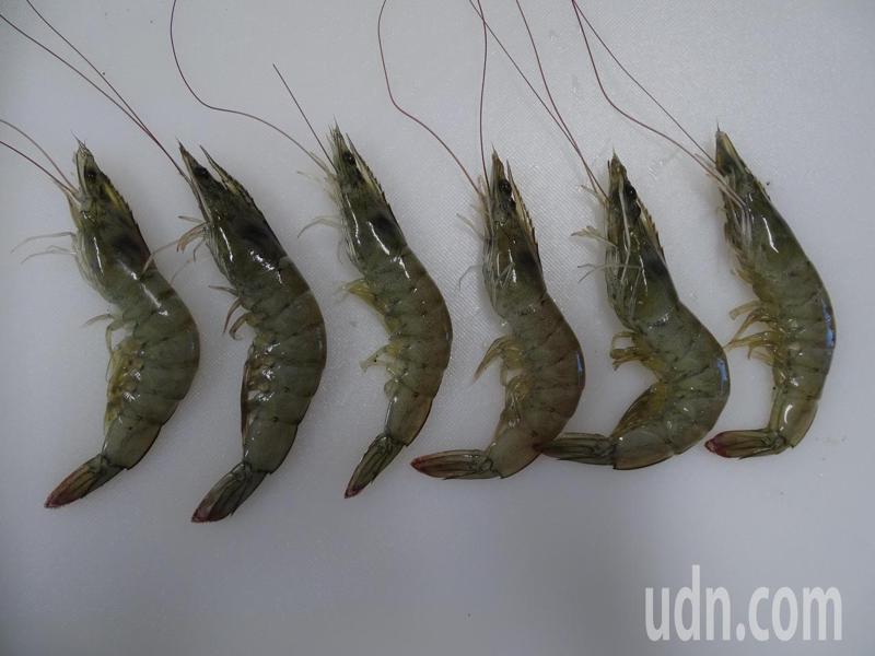 正值台南白蝦上市高峰,台南市政府農業局動物防疫保護處近來抽驗均合格,消費者可安心食用。圖/台南市政府農業局提供