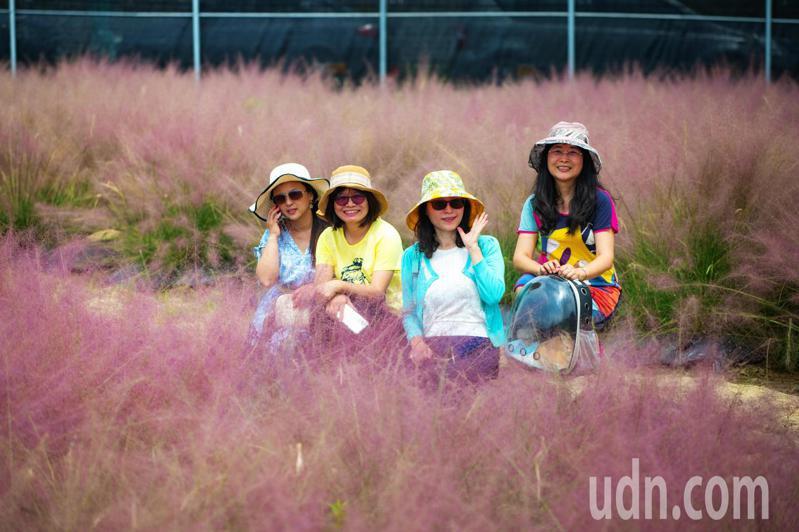 粉紅花海祕境不用出國了,集集和平快樂田園的「粉黛亂子草」,花期為每年9-11月。記者黑中亮/攝影