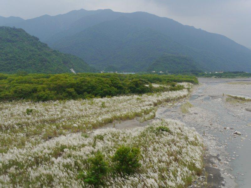 高雄六龜荖濃溪畔開滿甜根子草,從新威大橋望去,溪畔白茫茫一片。 圖/徐白櫻 攝影