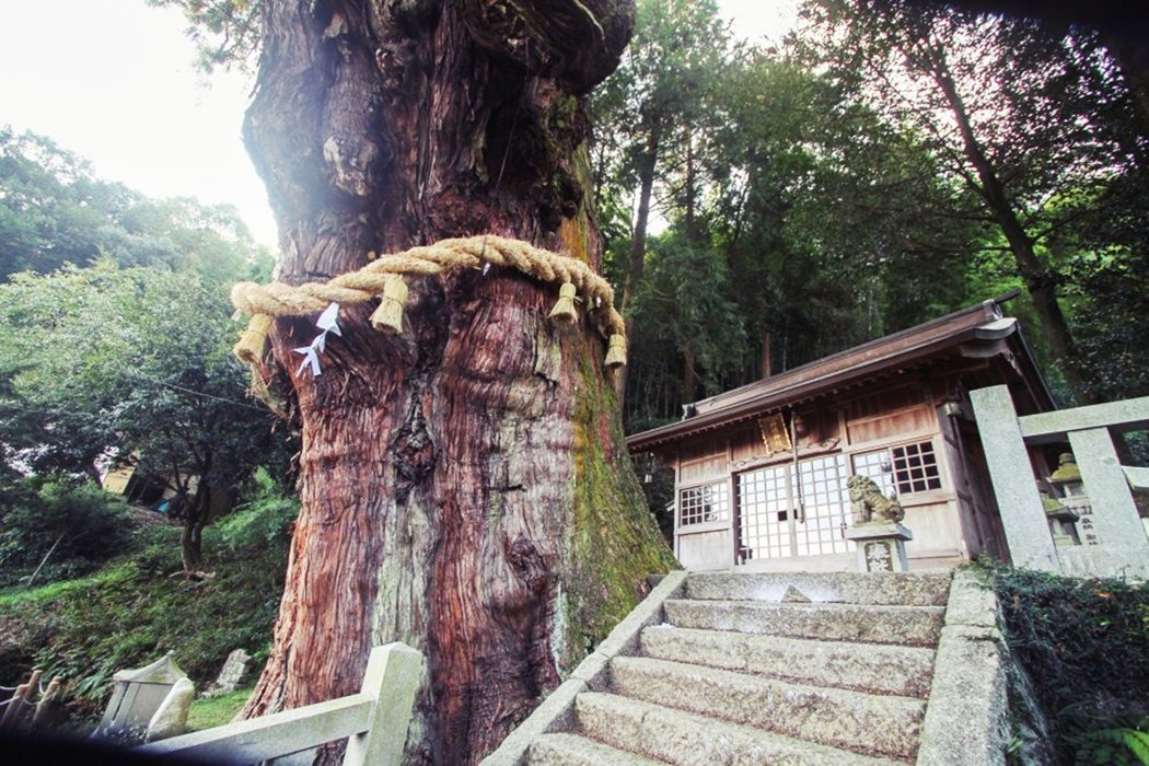 由於大杉神木與神社的關係密不可分,加上濕地的關係,神木根部滋養樹木的泉水,在當地...