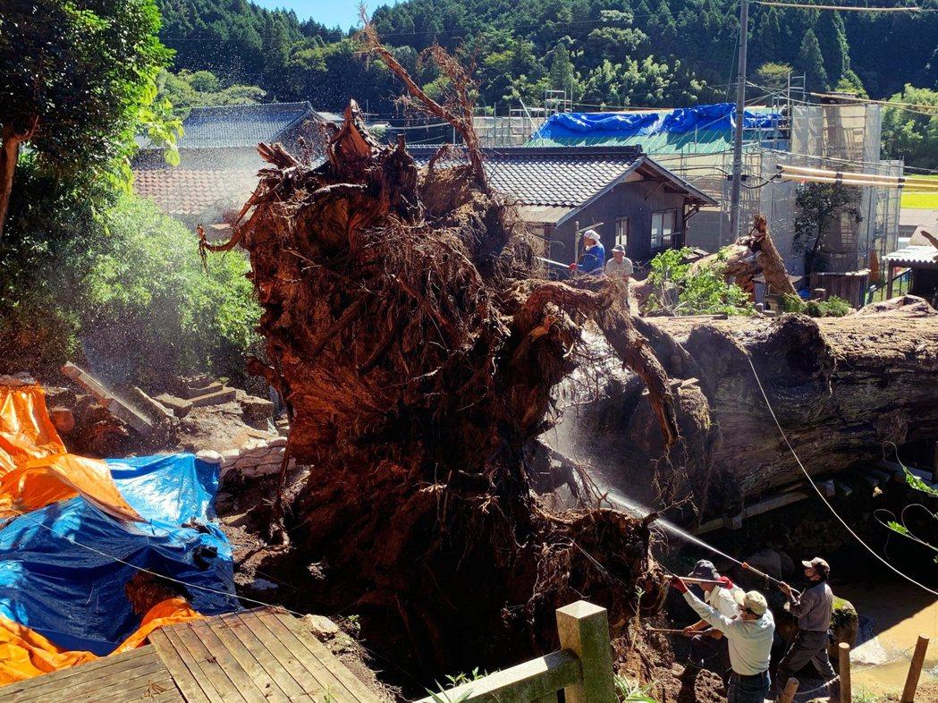專家評估狀況後認為,已經沒有可能原地植回復原的機會。圖為9月5日,大杉神木根部的...