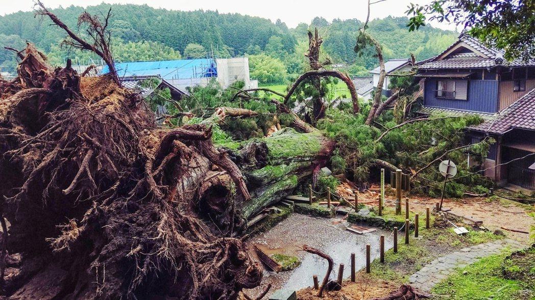 瑞浪市政府的文化課也著手進行神木的相關調查,發現大杉神木有衰退腐壞的趨勢,擔憂樹...