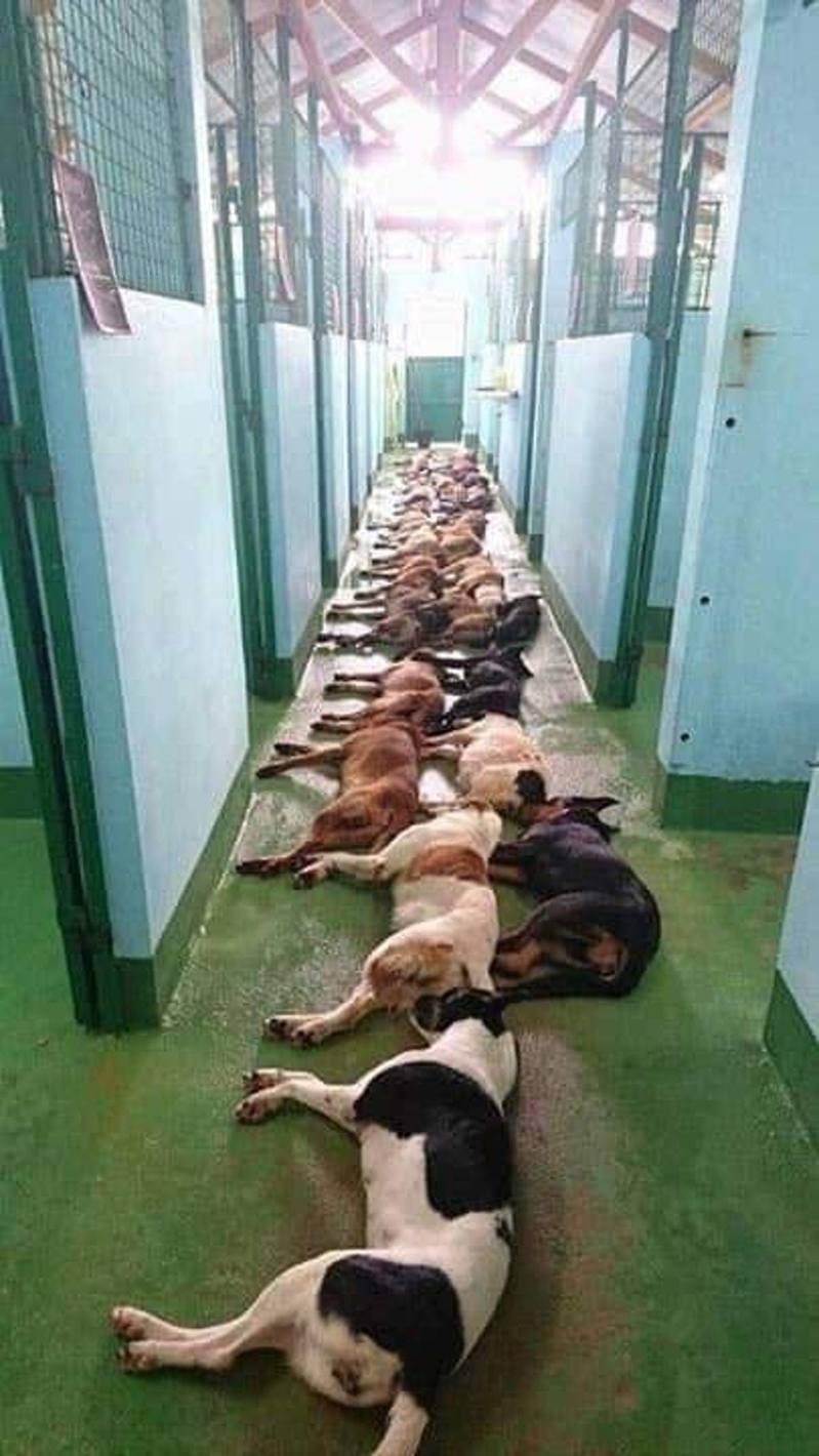 外國動物組織「Animal Reality Exposed」貼出至少20多隻狗接受安樂死的相片,震撼一幕引來網民討論。(fb「Animal Reality Exposed」圖片)