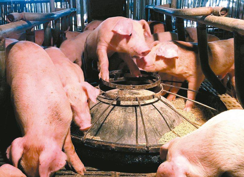 台南109年度預定採撿養豬場513場,就豬隻毛髮採檢是否使用違禁動物用藥,截至昨天,農業局採撿293場全合格。圖/聯合報系資料照