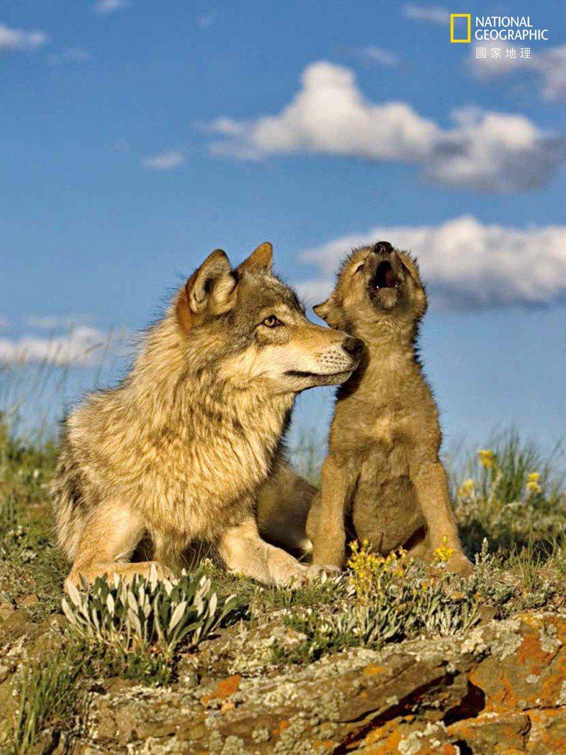 狼嗥>> 狼群的合唱展現曠野的意象,它也傳達了很多資訊。這類合唱至少包含六種不同類型的發聲,包括吠叫 (bark)、嗚咽(whimper)及嗥吼(howl)。每一種發聲都有變化及細微差異:例如,因為狼群中有成員不見所發出的嗥吼,就與日出時自然而然發出的嗥吼不同。 National Geographic Image Collection