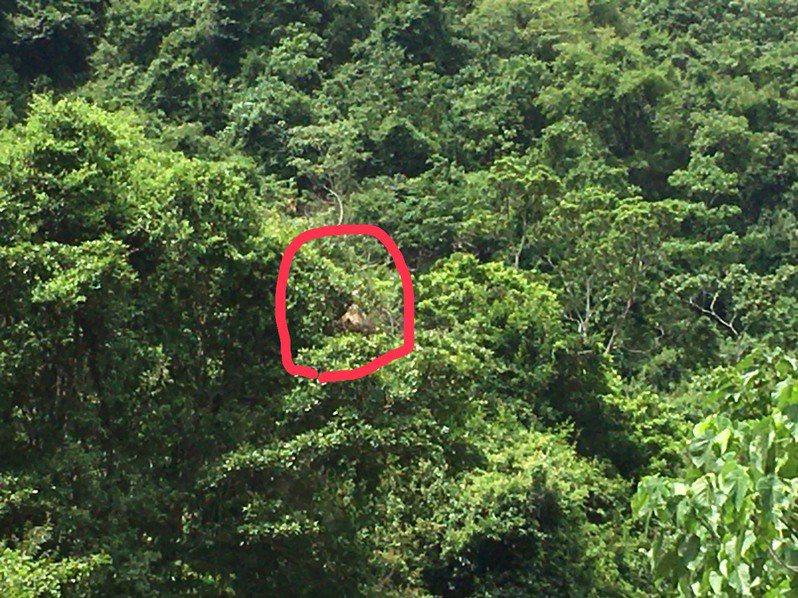 台30線瓦拉米步道發現兩顆虎頭蜂窩,明天將封路7小時動工摘除。圖/花蓮林管處提供