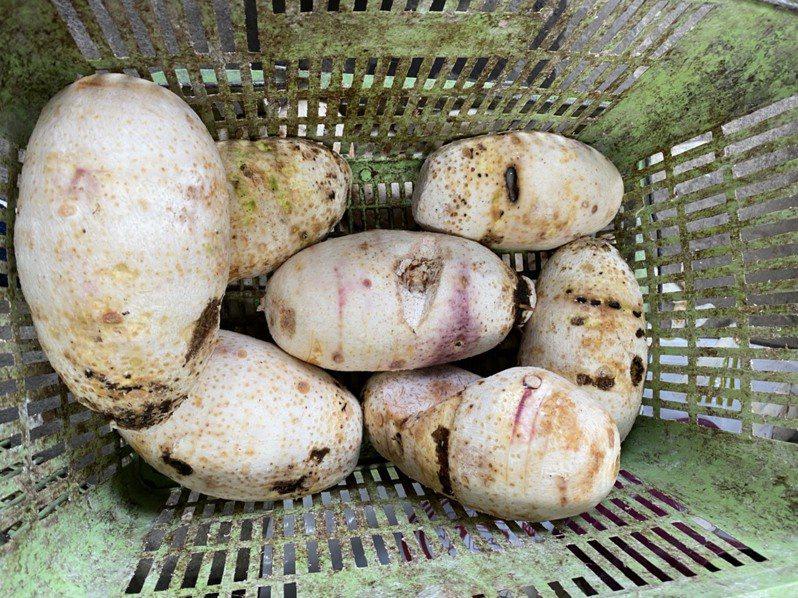 苗栗縣重要農產芋頭因6、7月高溫、乾旱,造成表面坑洞、中空等遲發性傷害,達到農業天然災害現金補助標準。圖/公館鄉農會提供