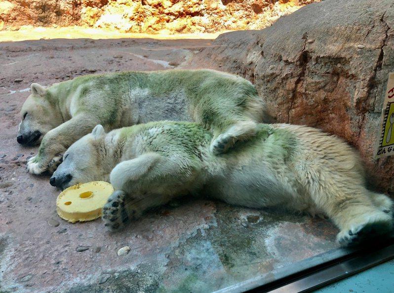日本最近北極熊紛紛「綠化」,圖為豐橋綜合動植物公園內的北極熊。圖擷取自twitter