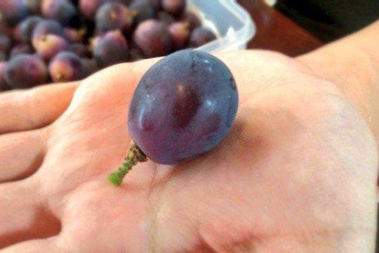 讓葡萄保存更久的秘訣,就在剪切時留下一截梗。圖擷取自twitter