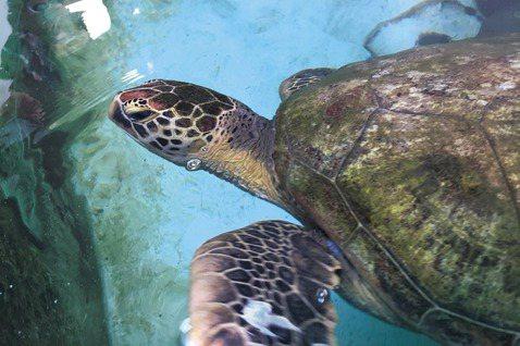 海生館救援的海龜。 圖/雷思瑜攝影
