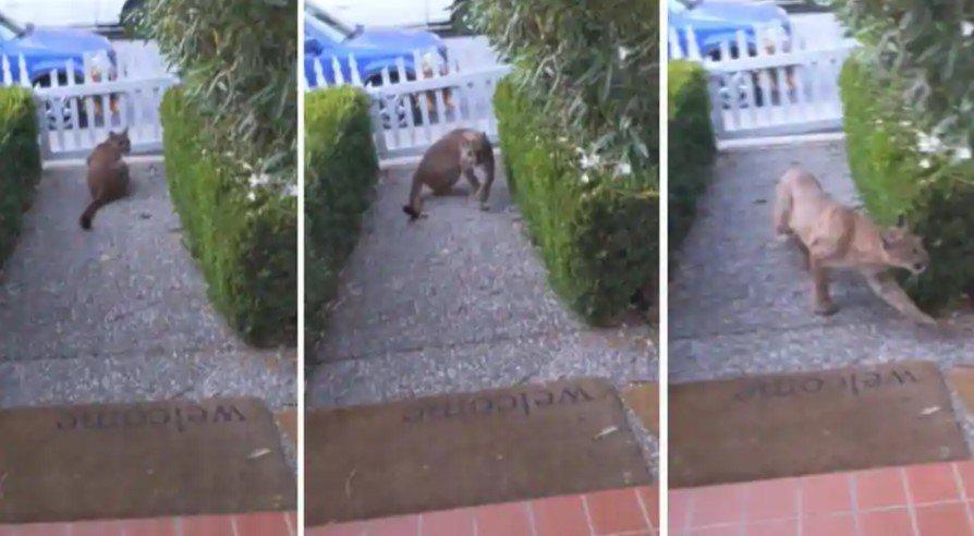 影片中可以看到這隻美洲獅趴坐在地,被發現時先是回頭接著轉身跳過籬笆,鑽到鄰居的卡...