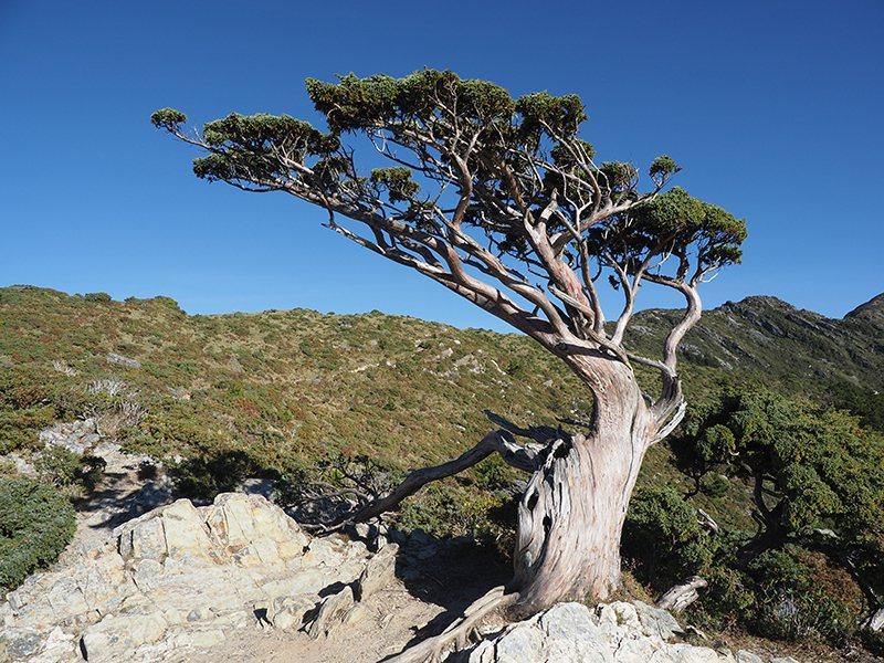 嘉明湖步道上的向陽名樹。 圖/鳴人堂提供
