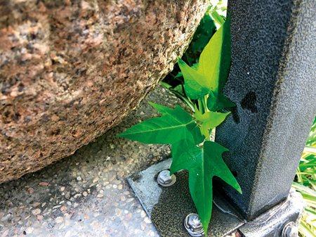 圖說:●(下圖)孩子的視角:一株從花圃竄長到水缸底下的地瓜葉(照片/江耀謨提供)