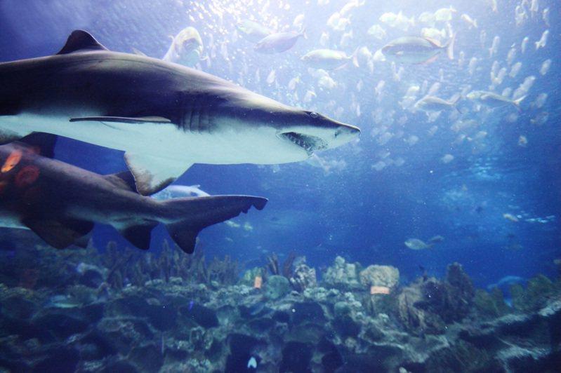 英國製藥大廠葛蘭素史克(GlaxoSmithKline)今年5月表示,將生產約10億劑從「角鯊烯」(Squalene)研發出來的新型冠狀病毒肺炎(COVID-19)疫苗,但有環保團體擔憂這恐將殃及50萬條鯊魚。圖片來源/ingimage