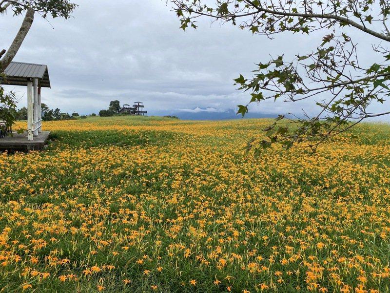 花蓮富里鄉六十石山目前金針花仍有8成開花,富里鄉農會邀民眾連假上山欣賞。圖/富里鄉農會總幹事張素華提供