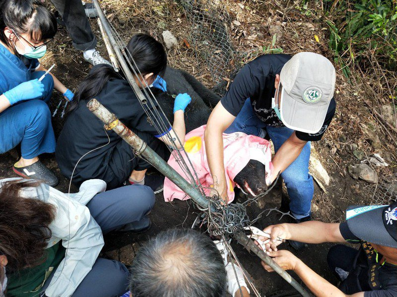 一隻台灣黑熊在台中和平山區受傷,今天下午各單位人員共同救援。圖/警方提供