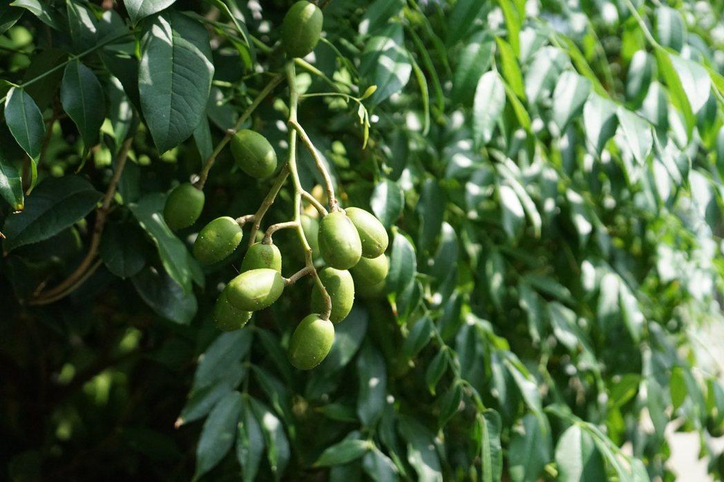 寶山的原生橄欖。 圖/盧怡安攝影