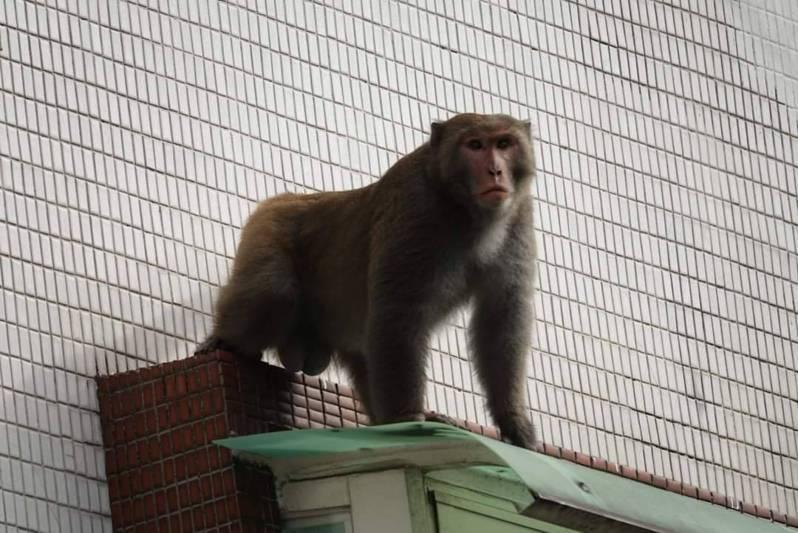 中秋連假期間,北市文山區試院路、世新大學傳有「台灣獼猴」出沒。圖/陳峙穎提供
