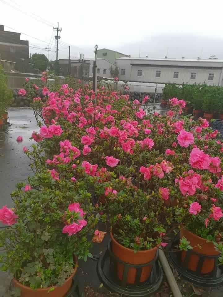 進入初秋玫瑰杜鵑開始綻放。圖/嚴慶榮提供