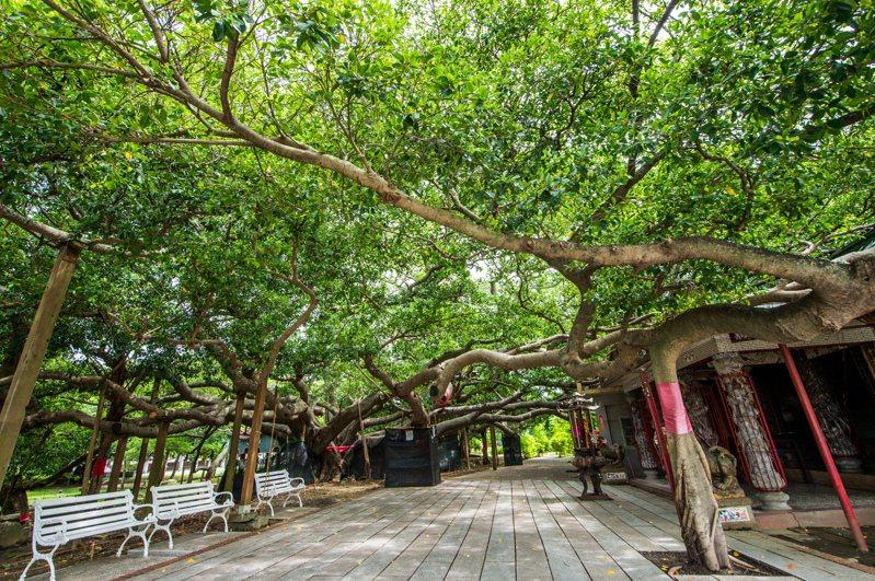 嘉義市「諸羅鳥榕王」,樹齡逾480歲。圖/嘉義市府提供