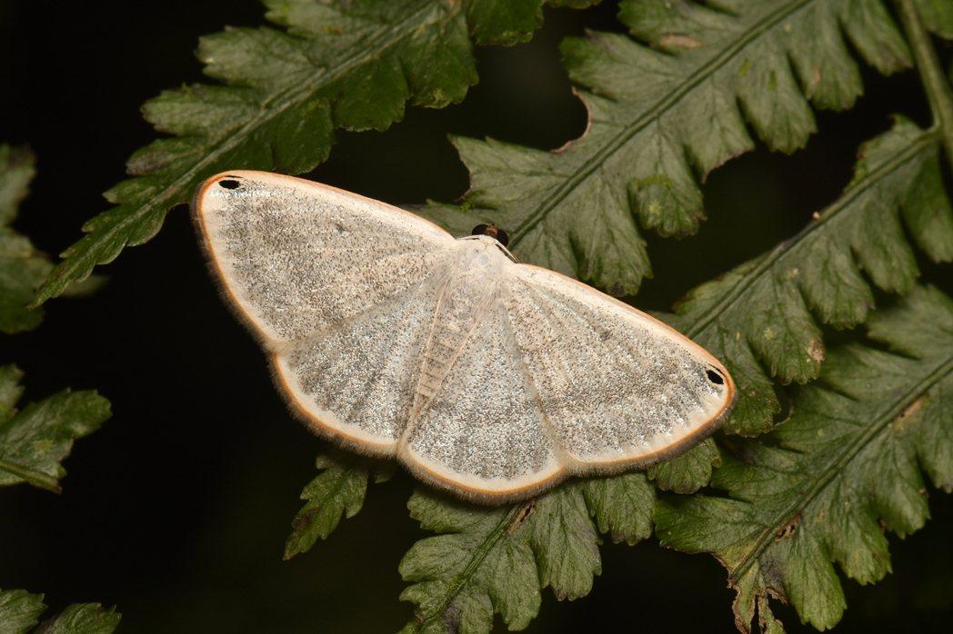 生態豐富的中級山,是蛾類物種集中的遊樂園,展翅姿態優美充滿驚奇。 圖/吳士緯提供