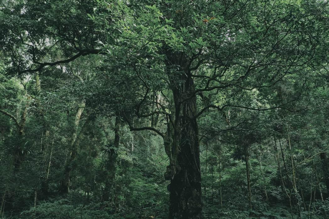 桃園山區常見巨木,往往一棵樹的樣貌就足以令人駐足良久。 圖/陳敏佳提供