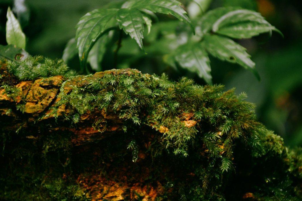 中低海拔是台灣孕育多樣蕨類與苔蘚的天堂,多樣密集度在世界名列前茅。 圖/格式設計...