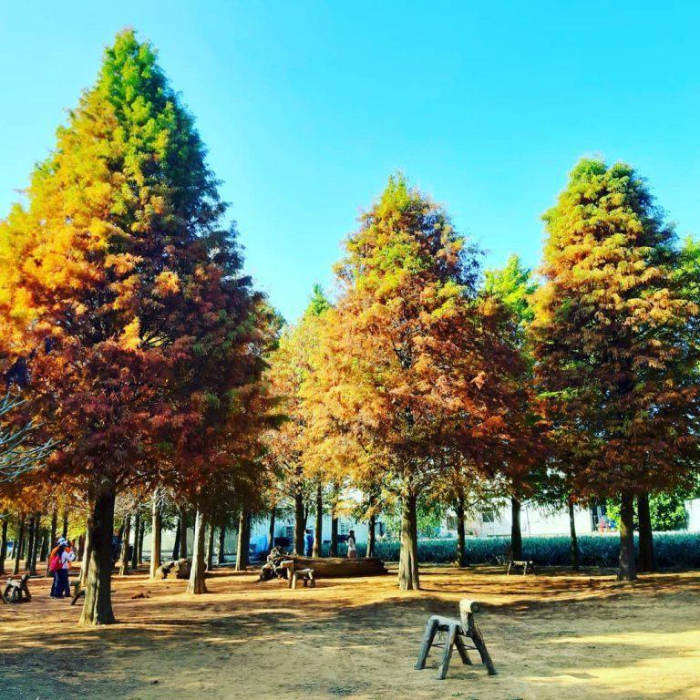 ▲中部賞落羽松景點-東勢林場。 (圖/lin_feng_chu, Instagram)