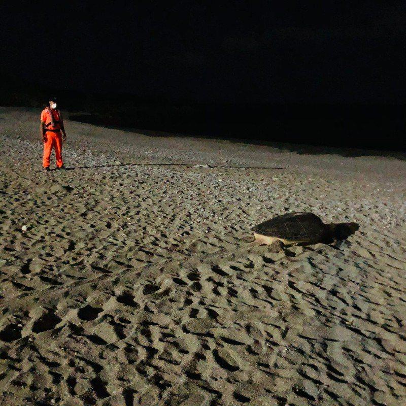 海巡人員戒護綠蠵龜在蘭嶼紅頭村沙灘產卵及重返大海。記者羅紹平/翻攝