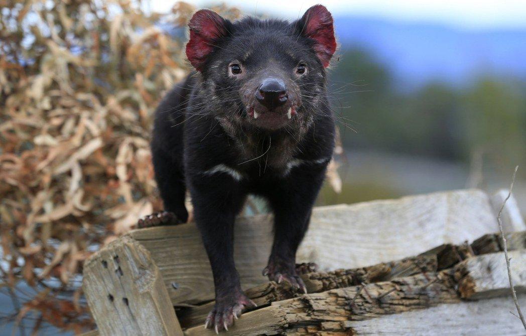 當前澳洲方舟與多個保育團體合作的袋獾計畫,雖然終極目標是期待能讓袋獾回歸他們早在...