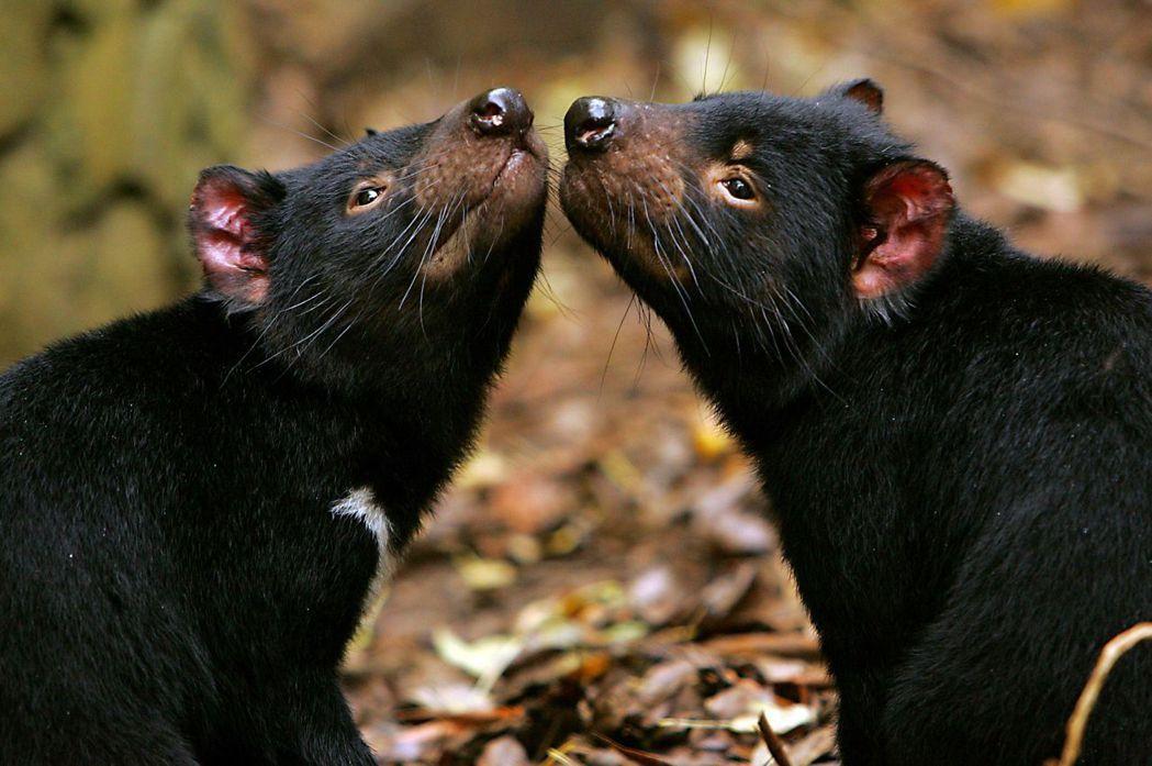 「我們引入的袋獾都是年輕又健康的,他們將先在這個最適切的環境生活6個月,尋找自己...