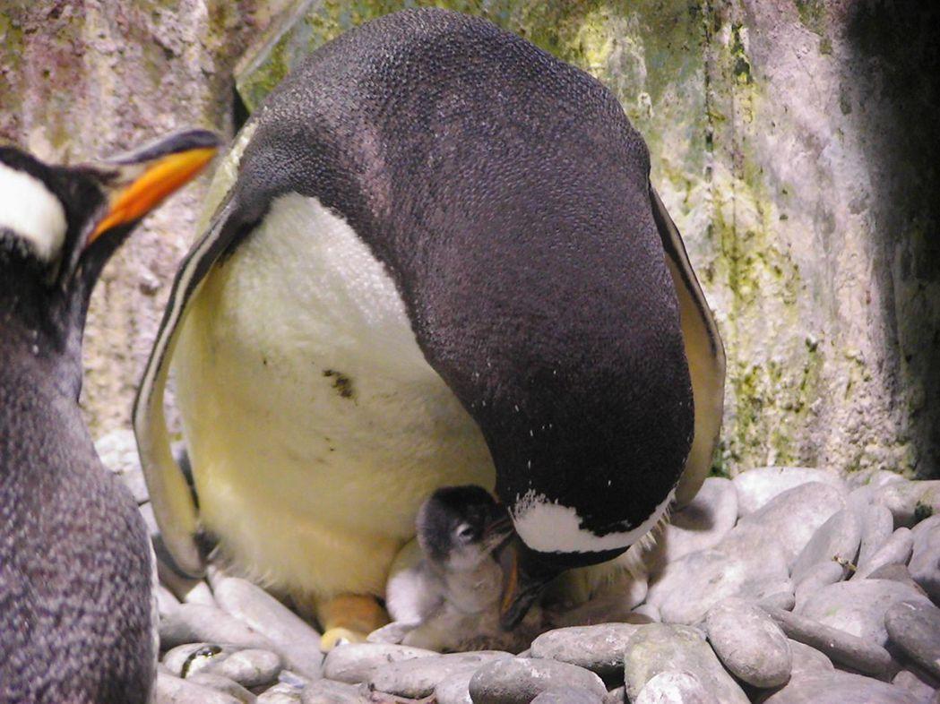 企鵝親鳥反芻餵食寶寶的溫馨畫面。  屏東海生館 提供