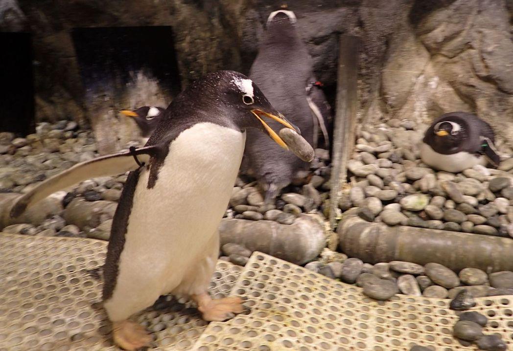 公企鵝叼石頭築巢。  屏東海生館 提供