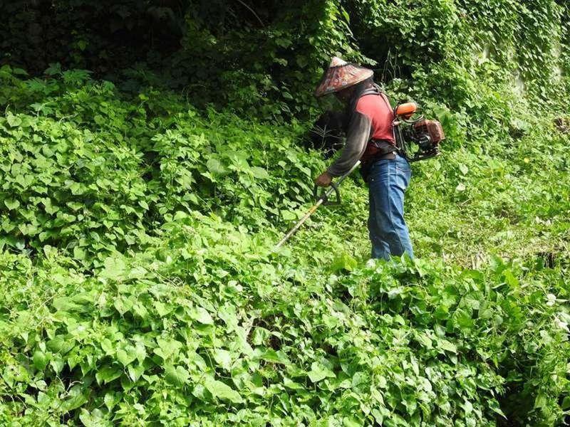 南投縣府加碼獎金清除小花蔓澤蘭,有人一天就可賺2、3000元。記者賴香珊/攝影