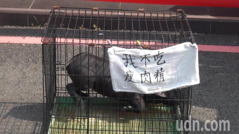 陳情民眾帶來一隻小豬,表達反萊克多巴胺進口的心聲。記者王昭月/攝影